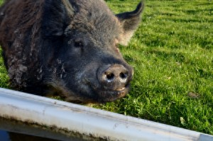 Smiley pig at the farm